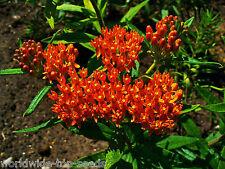 """Orangene Seidenpflanze Asclepias tuberosa 10 exotische Samen """"ALLES NUR 1 EURO"""""""