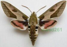Hyles euphorbiae (Linnaeus, 1758) 50-70mm Slovakia, Czech