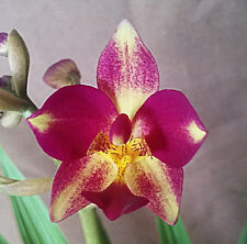 Spathoglottis, Ground Orchid, or Urn Orchid, Purple, White and Yellow