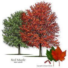 RED MAPLE TREE   (ACER RUBRUM) * 7 SEEDS!