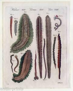 Seewürmer-Nereiden-Nereis - Bertuch-Kupferstich 1810