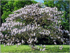1,000 Royal Empress Tree Seeds, Free Shipping, Fast Growing Tree