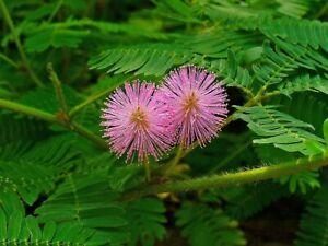 50 Samen Mimose,  Mimosa pudica, Strauch Zimmerpflanzen Samen
