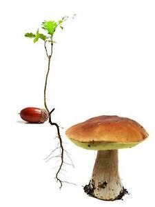 Grow Your Own porcini mushrooms (Boletus edulis; treat trees using spores)