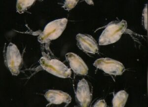 Moina Macrocopa Cysts Eggs Betta Guppy Discus Tropical Tetra Fish Fry Live feed