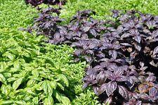 BASIL 'Heirloom Mix' 150+ seeds all types purple green herb culinary garden