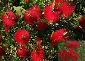 Callistemon Citrinus Red Flowering Bottle Brush Evergreen Shrub Plant