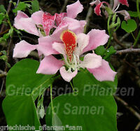 🔥 Bauhinia Orchideenbaum 5 Samen SEHR SELTEN * einmalige Blüten * MEHRJÄHRIG