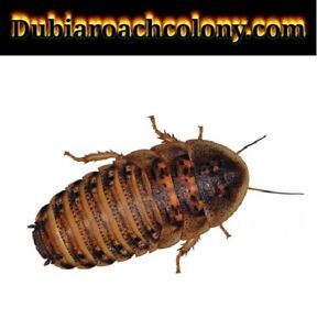 50ct Large & XL Dubia Roaches feeders FREE FAST SHIPPING blaptica nymphs bugs