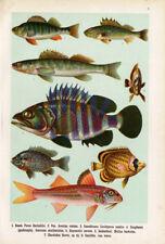 Antique Fish Print-PERCH-ZANDER-GROUPER-Lithograph-1906
