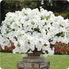 1000 seeds Trailing Petunia - WHITE