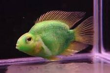 X5 GREEN JELLYBEAN PARROT CICHLID - FRESHWATER FISH  LIVE - FREE SHIPPING