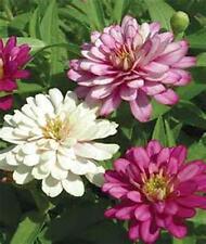 Equisite Zinnia 50+ Seeds Organic, Beautiful Bright Crisp Colors