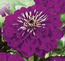 Zinnia Low Purple annuals Flower Seeds from Ukraine