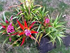 BROMELIAD AECHMEA recurvata~Tough,Cold Hardy,Ideal for rockeries/pots/terrariums