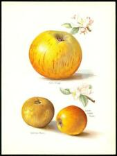1894 Antique Chromolithograph - APPLE Cox Skyehouse Russet Pippin (30/2)