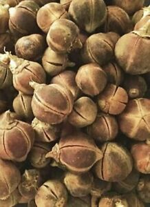 *Gorontula* Azanza Garckeana Snot Apple Dried Fruit x 10 Pieces -  (Kayanmata)