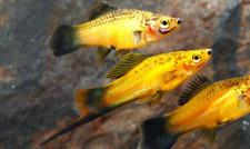 New listing Premium Marigold Wag Swordtail Regular live freshwater aquarium fish