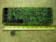 New ListingCulinary Herb Chives~36+ small plant plugs~Market Gardener~Herb Garden
