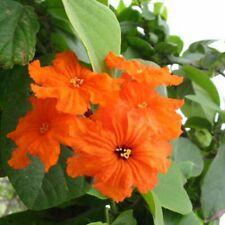 Cordia sebestena/sebestier-lot of 6 seeds
