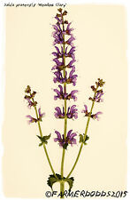 Salvia pratensis 'Meadow Clary' 100+ SEEDS - RARE NATIVE HERB!