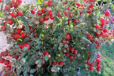 10 graines de tomate PUGOVKA précoce très productive savoureux froid tolérants