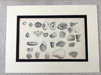 1880 Geology Aufdruck Fossil Exemplare Geologisch Scientific 19th Original