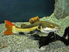 Red Tail Catfish 6-7CM LIVE FISH *NO RESERVE BID* AQUARIUM Aquatics TANK UK