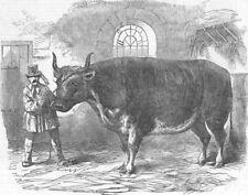 FRANCE. Mardi Gras, Paris-fat ox Uncle Tom, antique print, 1853