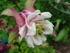 Aquilegia 'Beaufort'  150+ seeds *END OF SEASON DEAL* - Hardy Perennial