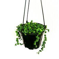 LIVE String of pearls - Senecio rowleyanus Plant Fit 6'' Pot Hanging succulents