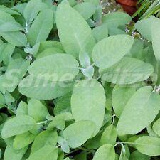 50 Samen mehrjähriger Salbei – Salvia officinalis, bis -10 Grad winterhart