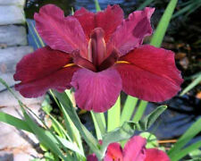 Red Velvet Elvis Iris - Mature 1 Gallon Blooming Size Award Winning