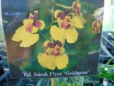 "New listing Tolumnia Jairak Flyer 'Goldmine' Spike/Flowers 1"" pot 1 or 2 Plants 2/18/20"