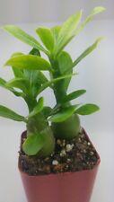 Desert rose Adenium obesum seedlings, Two plants white, Free Shipping & bonus