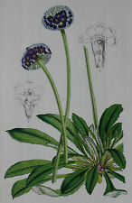 BOTANICAL - antique flower print, Horto van Houtteano c.1860