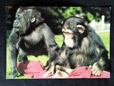 Bristol Zoo 1990 Young Gorilla & Chimpanzee Arthur Dixon Postcard L6/Sp 7301