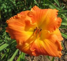 Daylily Plant CHEROKEE FABLES Perennial DF Hensley-D. Orange Yellow Flower