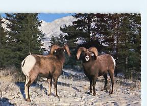 Mountain Sheep Alaska Highway C P Johnston Company