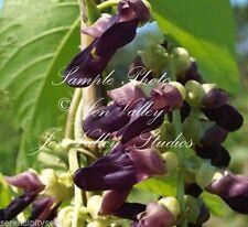 Mucuna pruriens 8 Rare seeds Velvet Bean Seed Tropical Vine