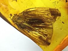 Superb Planthopper Fulgoromorpha fossil insect inclusion in Baltic amber stone