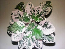 African Violet Dean'S Faded Rose, Leaf Set, Variegated, Saintpaulia, Gesneriad