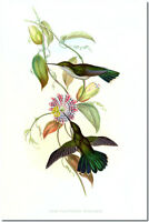 "Vintage Hummingbird Art John Gould CANVAS PRINT~ Campylopterus Obscurus 18x12"""