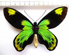 Ornithoptera victoriae ssp.isabellae male from Santa Isabel,SI,HK1/11