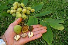 Rare seeds -Heavy Crops - Rival Heartnut - Juglans ailantifolia ´Rival´- 2 nuts