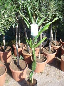 Drachenfrucht Hylocereus monacanthus Pflanze ca. 120 h, Pitaya Pitahaya Kaktus