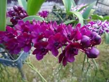 """Rhynchostylis Gigantea Orchid FRAGRANT Plant Pot 1 """""""