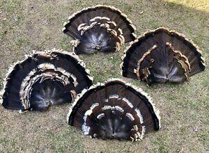 4 Adult Western Wild Turkey Fan Tails Hunting Trophy Decoys Pflueger Fly Tying
