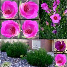 8 Native Hibiscus Melissa Anne Garden Plants Pink Flowers Shrubs Alyogyne Pot