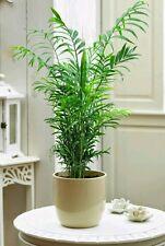 Chamaedorea elegans. Palmera de interior. 10 Semillas - Seeds.Indoor Palm